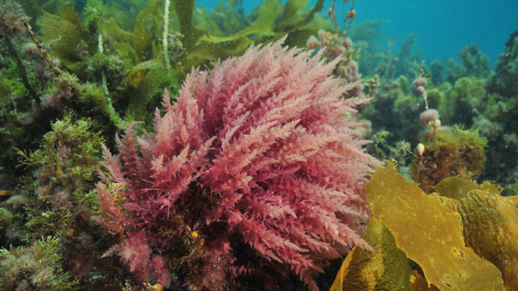extra_large-1506516481-red-algae